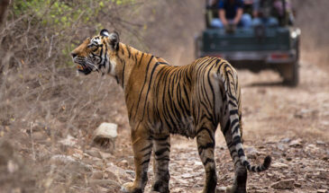 Tiger safari Ranthambore National park - Rajasthan