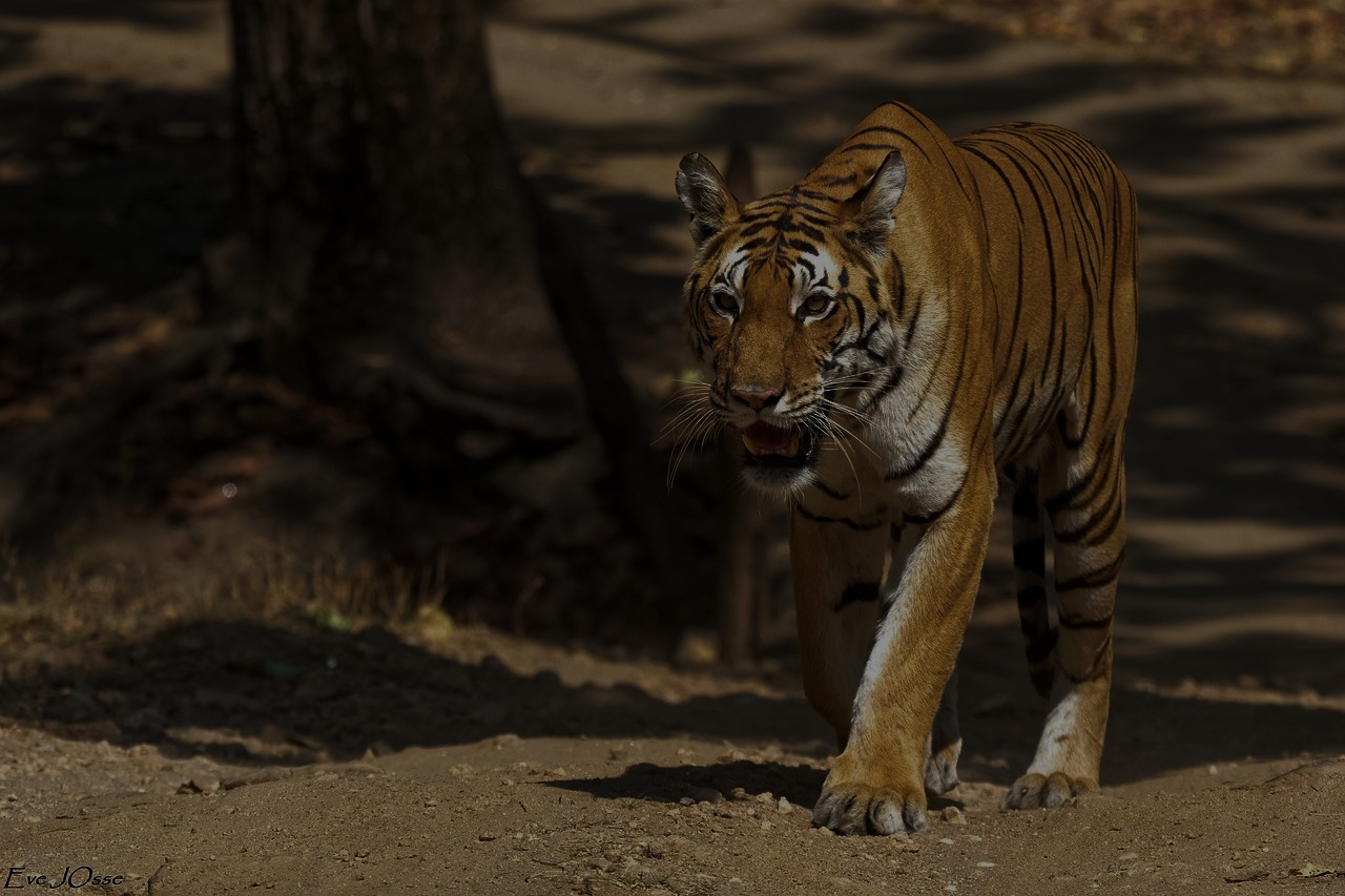 Tiger in Ranthambore National Park (1)